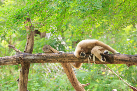hominid: Gibbon on a tree