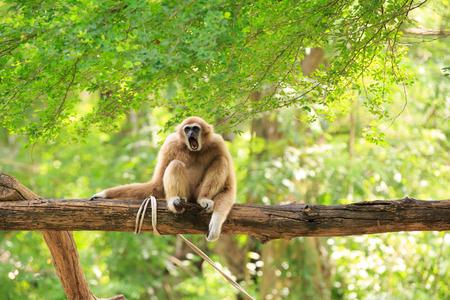 木にギボン 写真素材
