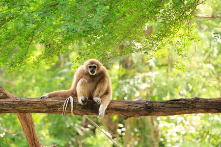 biped: Gibbon on a tree