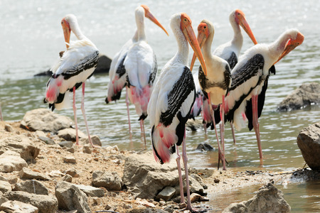 sun bathing: A flock of painted storks sun bathing near a water source