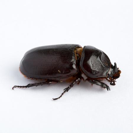 scarabaeidae: Black dung beetle isolated on white background Stock Photo