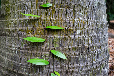 parasitic: Parasitic plant growing on tree bark, Singapore