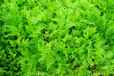 greem: Greem fern background texture