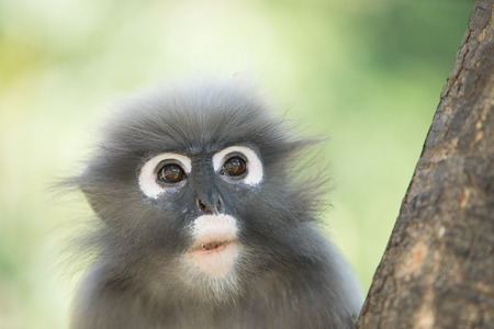 dusky: dusky leaf langur monkey up on a tree Stock Photo