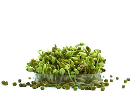 petri: Bean sprout in petri dish genetic modified Stock Photo