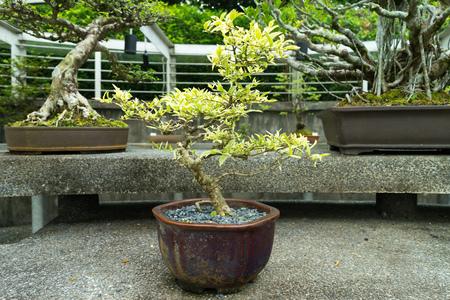 botanics: SINGAPORE - CIRCA JULY, 2015: Bonsai from the National Botanics Garden, Singapore Stock Photo