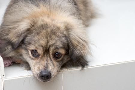 mixed breed: A mixed breed dog looking sad on the floor