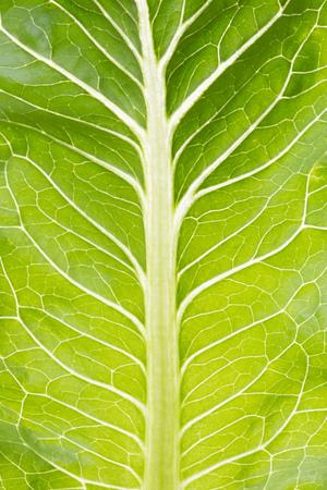 rocket lettuce: Salad leaf close up. Green rocket back lit.