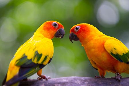 mate: Sun conure parakeet looking lovingly at his mate