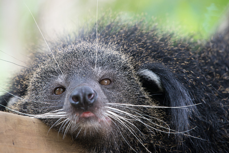 bearcat: Close up on a binturong eye and head Stock Photo
