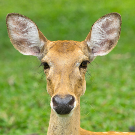 portrait of a deer looking directly at the camera
