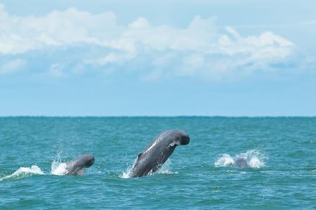 희귀 타이 핑 고래 고래 물에서 점프