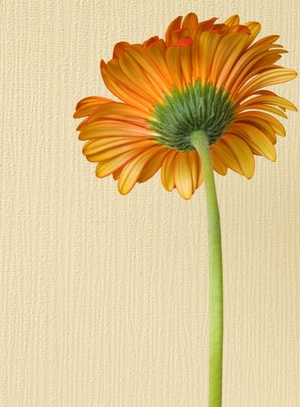 Orange flower from a wrong side against an impressive yellow wall photo