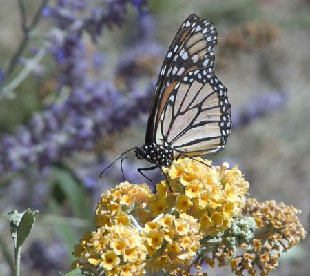 A butterfly perched on a honeycomb (yellow) butterfly bush