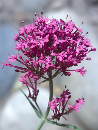 A closeup of a valerian flower cluster Stock Photo