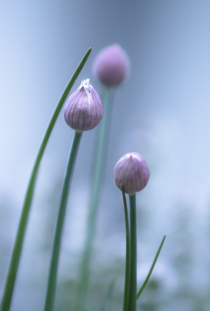 blooming: blooming chive Stock Photo