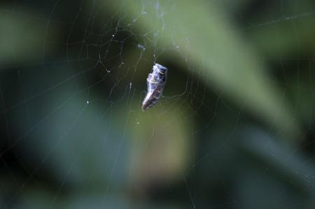 captured: Wesp captured in spider web Stock Photo