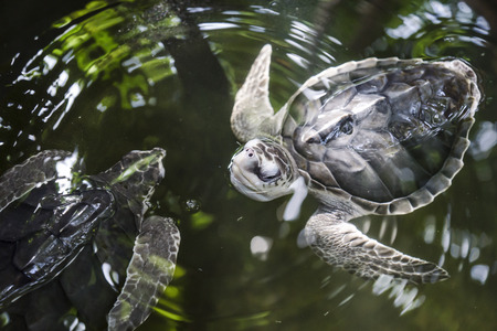 many babies: swimming turtles