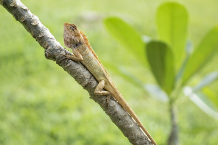 Angry orange lizzard  in the sun on a tree with leaves and grass in the background, Koh Mook, Thailand Stock Photo