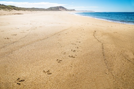 Pinguin footprints at the beach with green hills of Peterborough at the Great Ocean Road, Victoria, Australia 写真素材