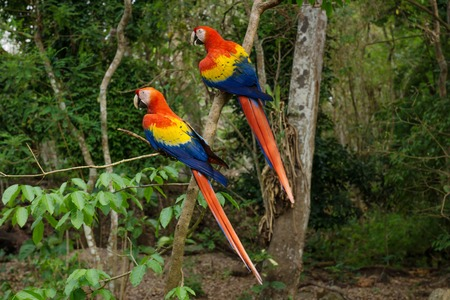 Two colorful Scarlet Macaw parrots - Aras - siting in the tree in Copan Ruinas, Honduras, Central America