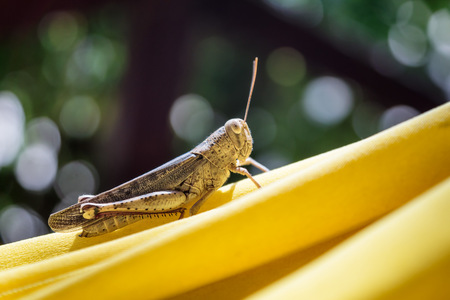 Closeup of a brown grasshopper in a yellow hammock, Togian Islands, Indonesia