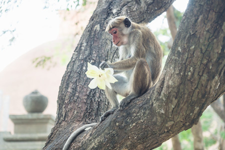 Monkey eating the lotus offering at a temple on a tree in Anuradhapura, Sri Lanka, Asia