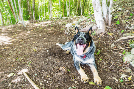 Happy exhausted shepard dog in the sunny jungle of El Remate, Peten, Guatemala, Central America Stock Photo