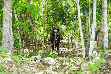 Saddled horse in the sunny jungle of Peten near El Remate, Guatemala, Central America Stock Photo