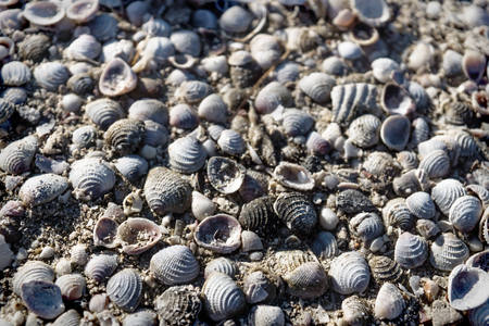 Small bright sea clams lightned by sun on beach of Chelem, Mexico Stock Photo