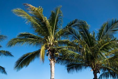Dark green palm trees on blue sky, Chelem, Mexico Stock Photo
