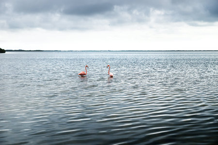 Two pink flamingos in the silver shining lagoon of Chelem, Yucatan, Mexico