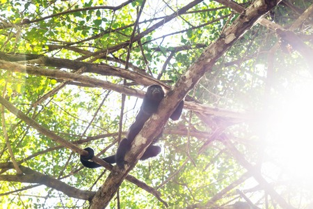 Howler monkey in sunlightened trees with green leaves with backlight, El Remate, Peten, Guatemala