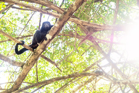 Howler monkey in sunlightened trees with green leaves, El Remate, Peten, Guatemala
