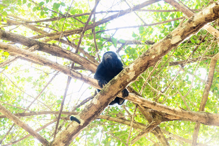 Howler monkey looking up in sunlightened trees with green leaves, El Remate, Peten, Guatemala Stock Photo