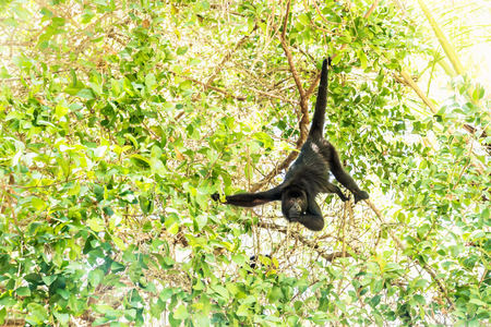 Howler monkey eating in sunlightened trees with green leaves, El Remate, Peten, Guatemala