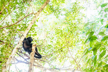Howler monkey lying and looking up in sunlightened trees with green leaves, El Remate, Peten, Guatemala Stock Photo