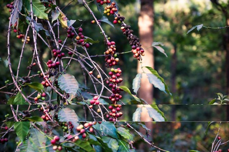Coffee bean plant ripening red green with trees in a plantation in Antigua, Guatemala