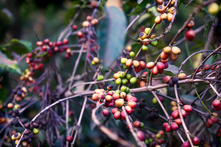 Coffee bean plant ripening red green in a plantation in Antigua, Guatemala
