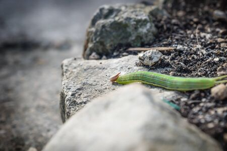 Green caterpillar with yellow stripes and red horns on earth, El Remate, Peten, Guatemala