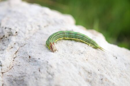 Green caterpillar with yellow stripes and red horns, El Remate, Peten, Guatemala