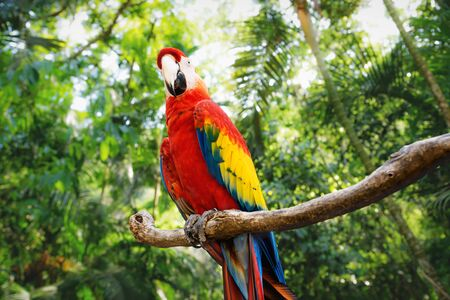 Kinky red macaw or scarlet macaw Ara macao with green sunny jungle background in Macaw Mountain Bird Park, Copan Ruinas, Honduras Stock Photo