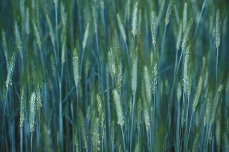 Close up of young growing wheat stems with blue tint and blurred background