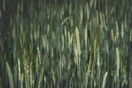 Close up of young growing wheat stems with blurred background Stock Photo