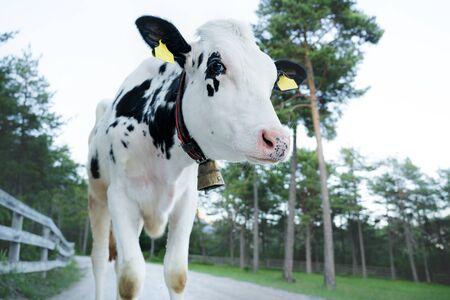 Cute black and white calf looking suspicious on alpine pasture path, Mieminger Plateau, Tyrol, Austria Stock Photo