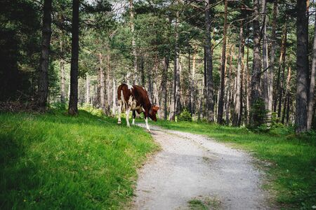 Cow walking along path on alpine pasture in sunny evergreen forest, Mieminger Plateau, Tyrol, Austria