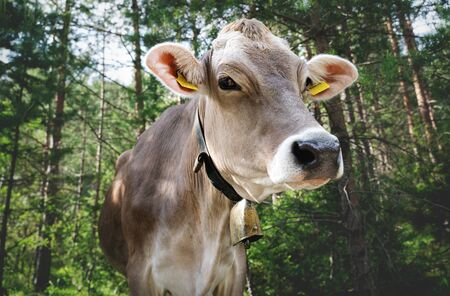 Close up of cow on sunny alpine pasture forest, Mieminger Plateau, Tyrol, Austria