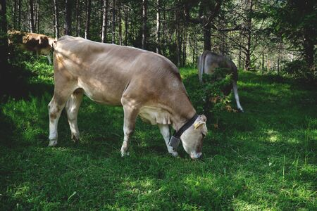 Cows grazing in sunny woodland, Mieminger Plateau, Tyrol, Austria Stock Photo