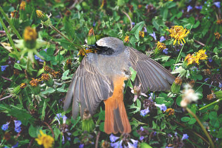 Dead robin bird in a colorful flower meadow, Austria Archivio Fotografico
