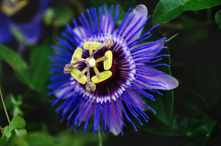Close up of a blue purple colored passion flower surrounded by green blurred leaves, Spain